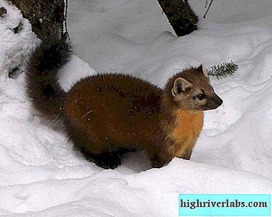 American Marten - animal à fourrure