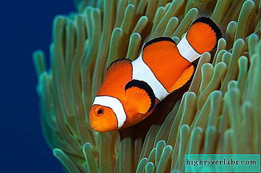 Amphiprions, they are also clown fish: photos, description, types