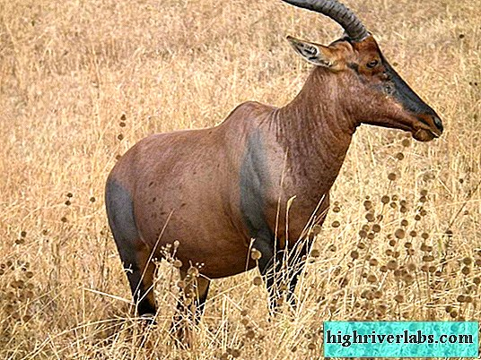 Marsh antelope: appearance, behavior and breeding