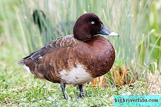 Australian Blacken - White Eyed Duck