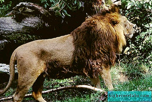 Asiatic Lion - Pride of India