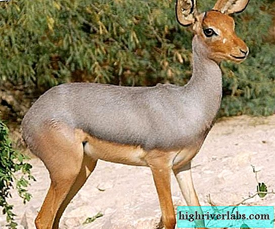 Beira - a small East African antelope