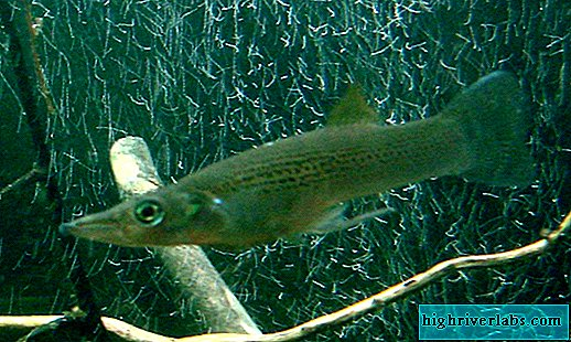 Belonesox ou Sarganoshchuk: photo de poisson