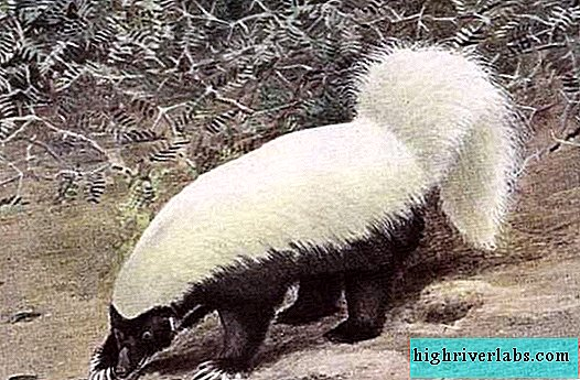 White-backed skunk - a beautiful, but smelly beast