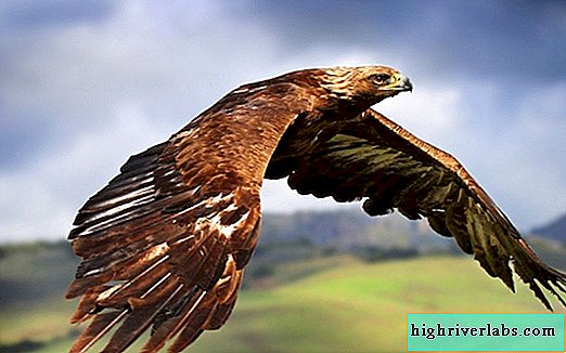 Golden Eagle - Golden Eagle