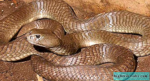 Big brown spitting cobra - snake on the verge of extinction