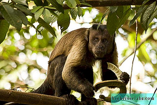 Brown black-headed or crested capuchin, he is also a faun