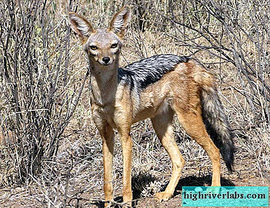 Black-headed jackal - the vocal inhabitant of Africa