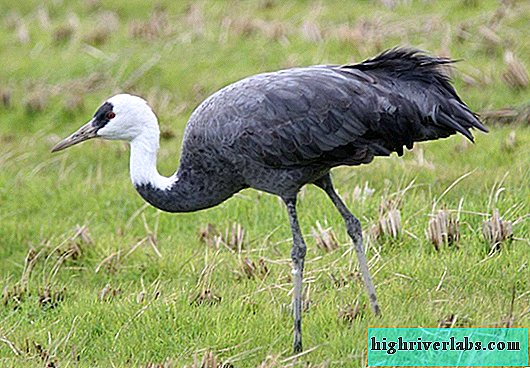 The black crane: what does the science of a rare bird say?