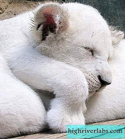 Four white lion cubs were born in the safari park of Crimea