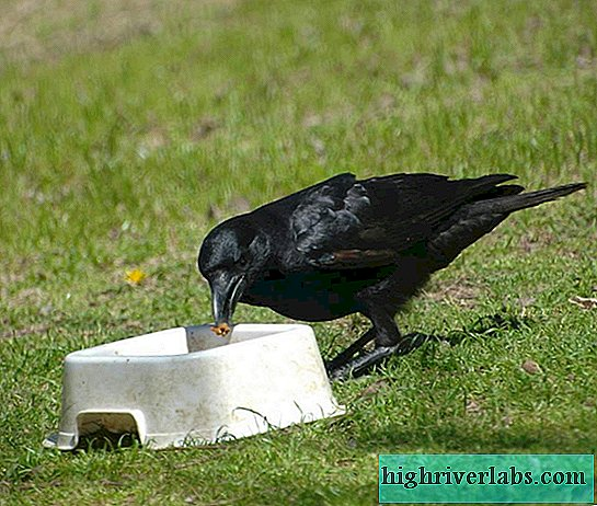 What and how does a crow steal?