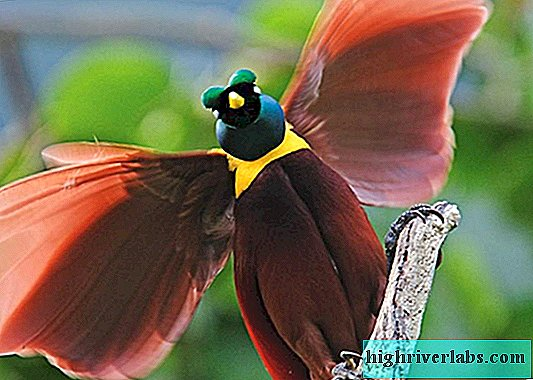 What do we know about birds of paradise?