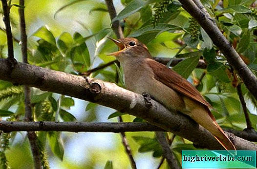 What do we know about the nightingale?