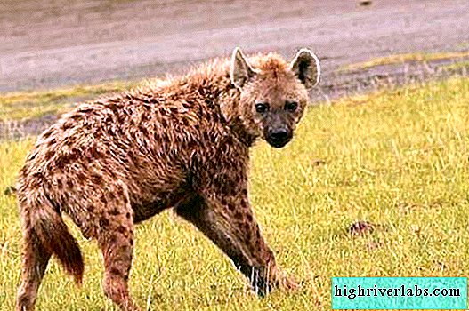 Are hyenas really scavengers?