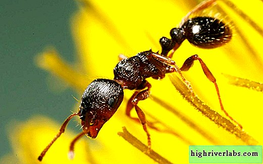 Sod ant: photo, description
