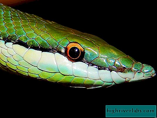 Long-nosed philodrios: reptile photo