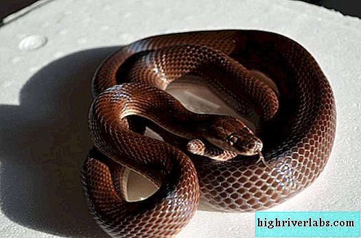Brownie African Snake - Obedient Pet