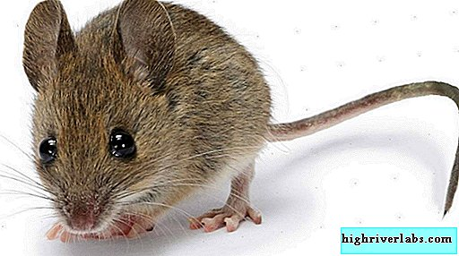 House mouse. Photo of house mice