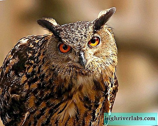 Eagle owl is a wary bird. Photo Description