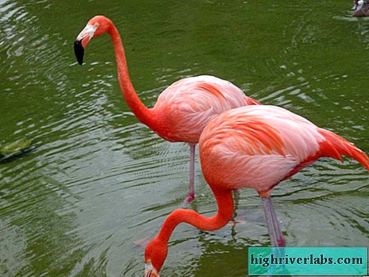 Flamingo - a sacred bird of the Egyptians, standing on one leg