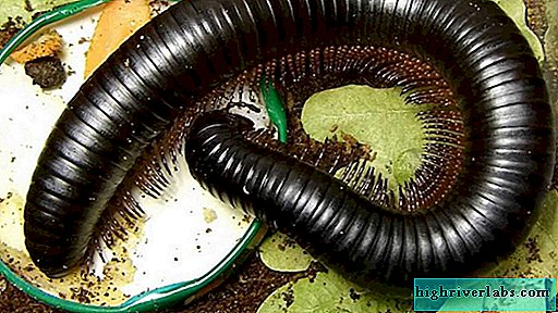 Giant African nibble - exotic millipede