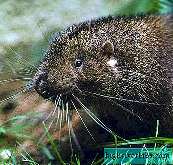 Mountain beaver or applause - not a beaver at all, but a rodent
