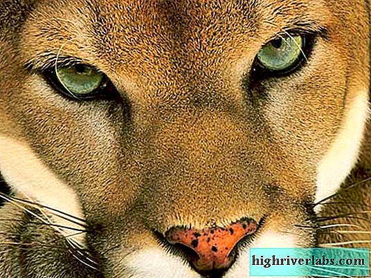 Graceful animal cougar. Description, photo