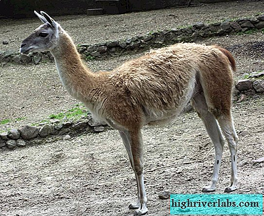 Guanaco - one of the camels