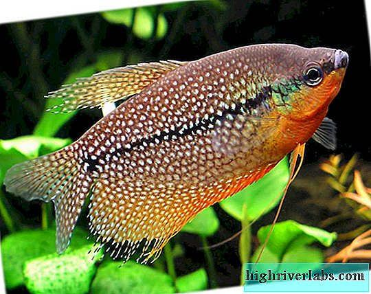 Gurami Pearl: Peaceful Aquarium Fish