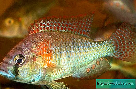 Haplochromis burtoni: how to carry offspring in the mouth?