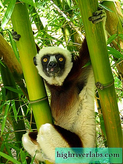 Tufted Indri - Amazing Tropical Primates
