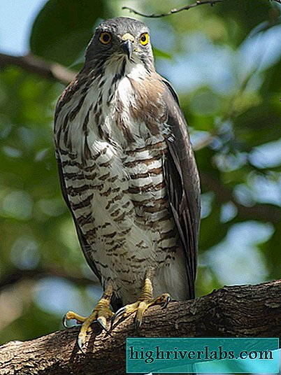 Crested Hawk - Habicht