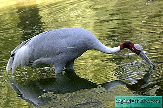 Red-crowned crane - bird in a red cap