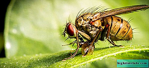 How to get rid of small midges (Drosophila) in the kitchen