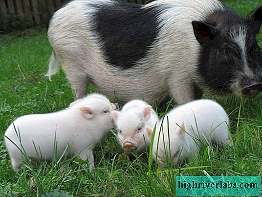 What are the disadvantages of a mini-pig?