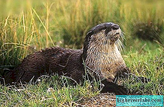 Cameroonian Clawless Otter - ein seltenes Tier
