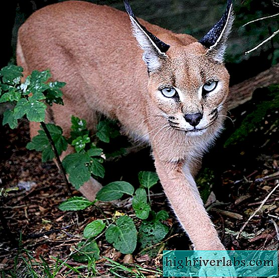 Caracal - Steppenluchs