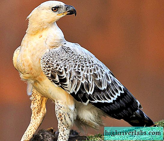 Crowned Eagle - Africa's Largest Eagle