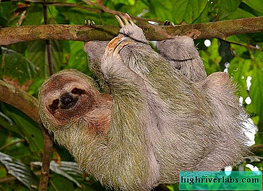 Sloths: photo of an amazingly slow beast
