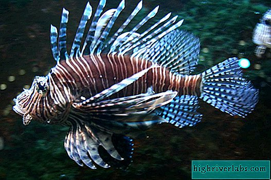 Does lionfish fly?
