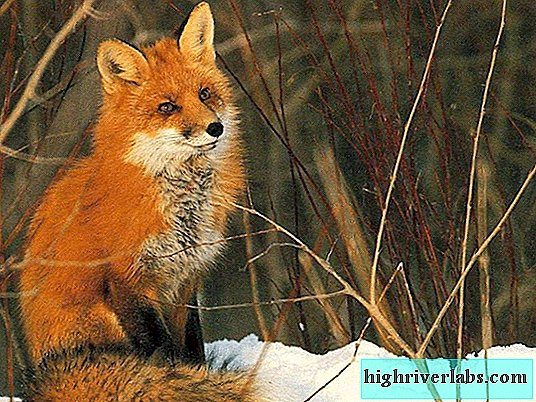 A fox is a red cheat: what do we know about her?