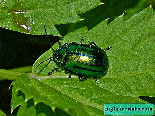 Leaf beetles - beneficial pests