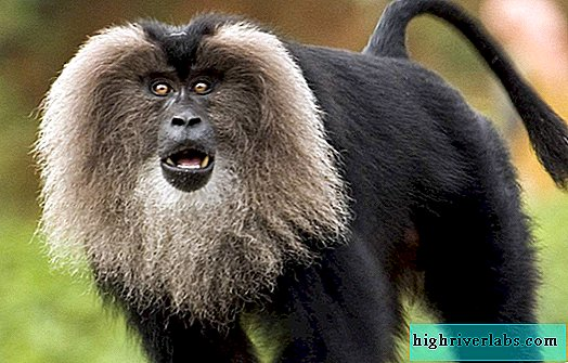 Lion-tailed macaque - bearded monkey from the international Red Book