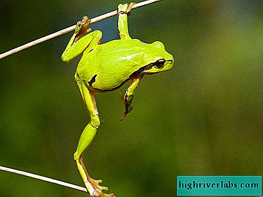 Frogs: species, description, photo
