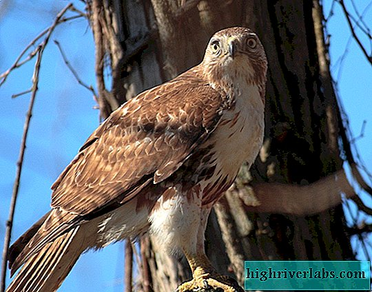 Madagascar Short-Winged Buzzard