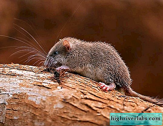 Malabar prickly dormouse - endemic of the Hindustan mountains