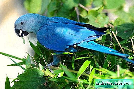 Little Blue Macaw: Interesting Bird Information