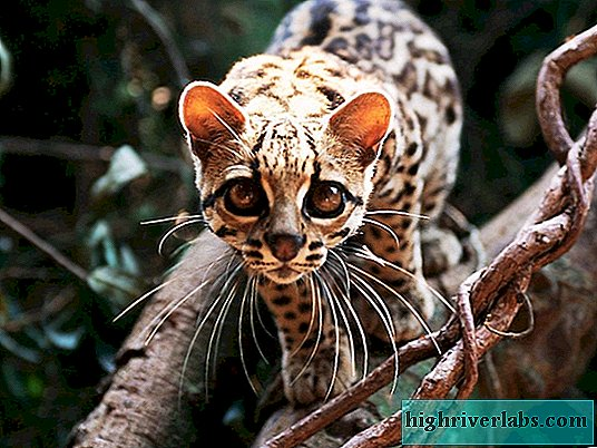 Margay Cat Marga