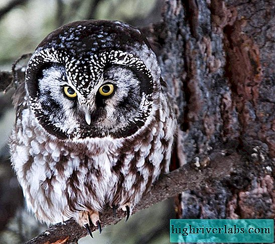 Boreal Owl - the owner of the dark coniferous taiga