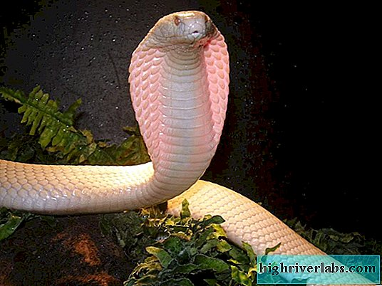 Monocle Cobra. Killer Snake Inhalt